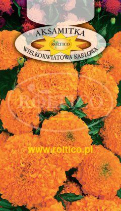 Aksamitka wzniesiona karłowa – Pomarańczowa
