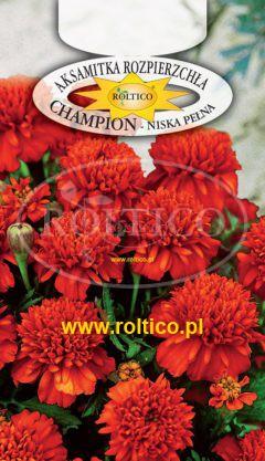 Aksamitka rozpierzchła Champion – Czerwono-brązowa