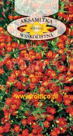 Aksamitka wąskolistna - Czerwona