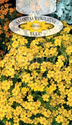 Aksamitka wąskolistna – Lulu