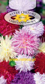 Aster chryzantemowy - Mieszanka