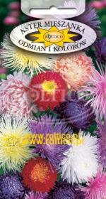 Aster mix odmian i kolorów - Mieszanka