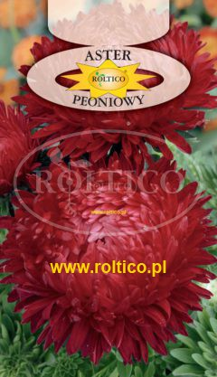 Aster peoniowy – Czerwony