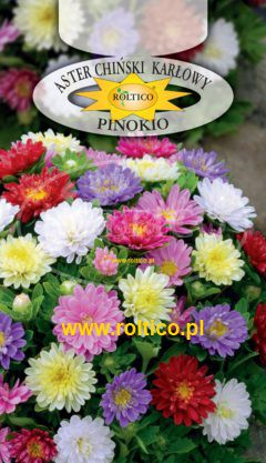 Aster pinokio – Mieszanka
