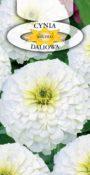 Cynia wytworna daliowa - Biała