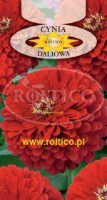 Cynia wytworna daliowa - Czerwona