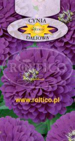 Cynia wytworna daliowa - Fioletowa