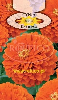 Cynia wytworna daliowa - Pomarańczowa