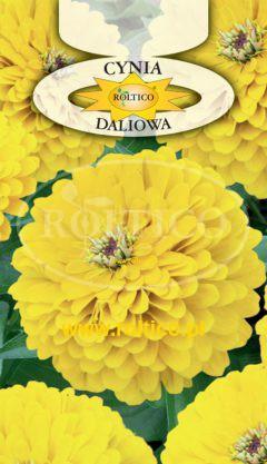 Cynia wytworna daliowa – Żółta