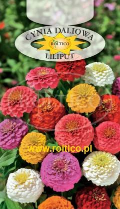 Cynia wytworna daliowa - Karłowa - Liliput