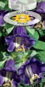 Kobea pnąca - Fioletowa