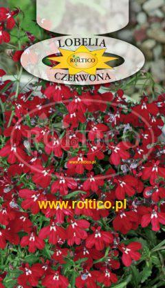 Lobelia niska – Czerwona