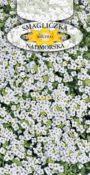 Smagliczka nadmorska - Biała
