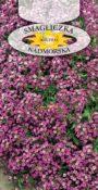 Smagliczka nadmorska - Różowa