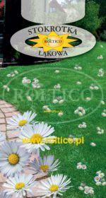 Stokrotka łąkowa - Do ozdoby trawników