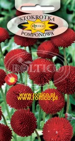 Stokrotka Pomponowa – Czerwona
