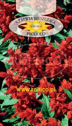 Szałwia błyszcząca czerwona - Picolo - niska