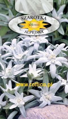 Szarotka alpejska - Biała