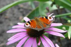Zdjęcie motylka
